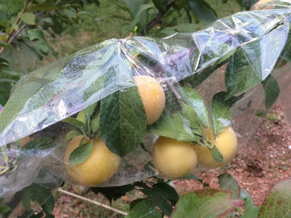 Why do you need a fruit protection bag? Know Here